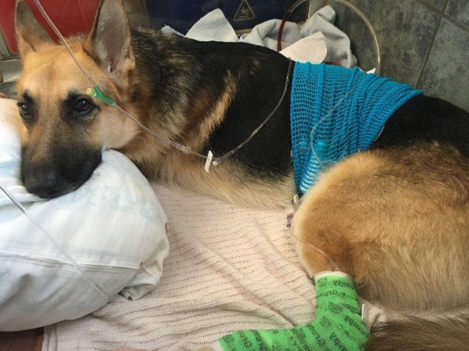 Haus es el perro que salvó a su dueña de 7 años de ser mordida por una cascabel. (Foto: GoFundMe)