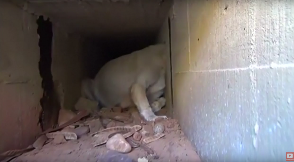 El animal metió la cabeza por el agujero queriendo alcanzar comida. (Imagen: captura de YouTube)