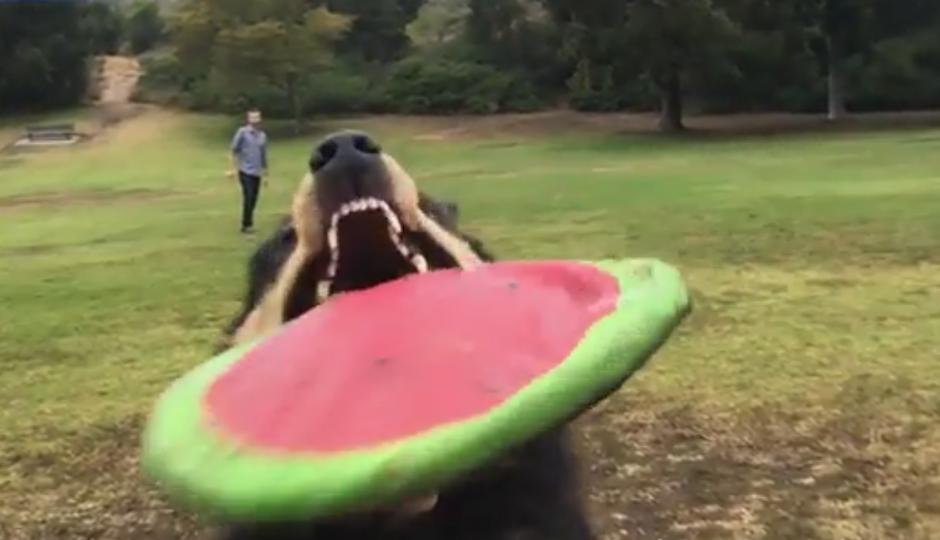 El perro atrapa el disco volador y se choca con la cámara. (Captura de pantalla: Dailymail)