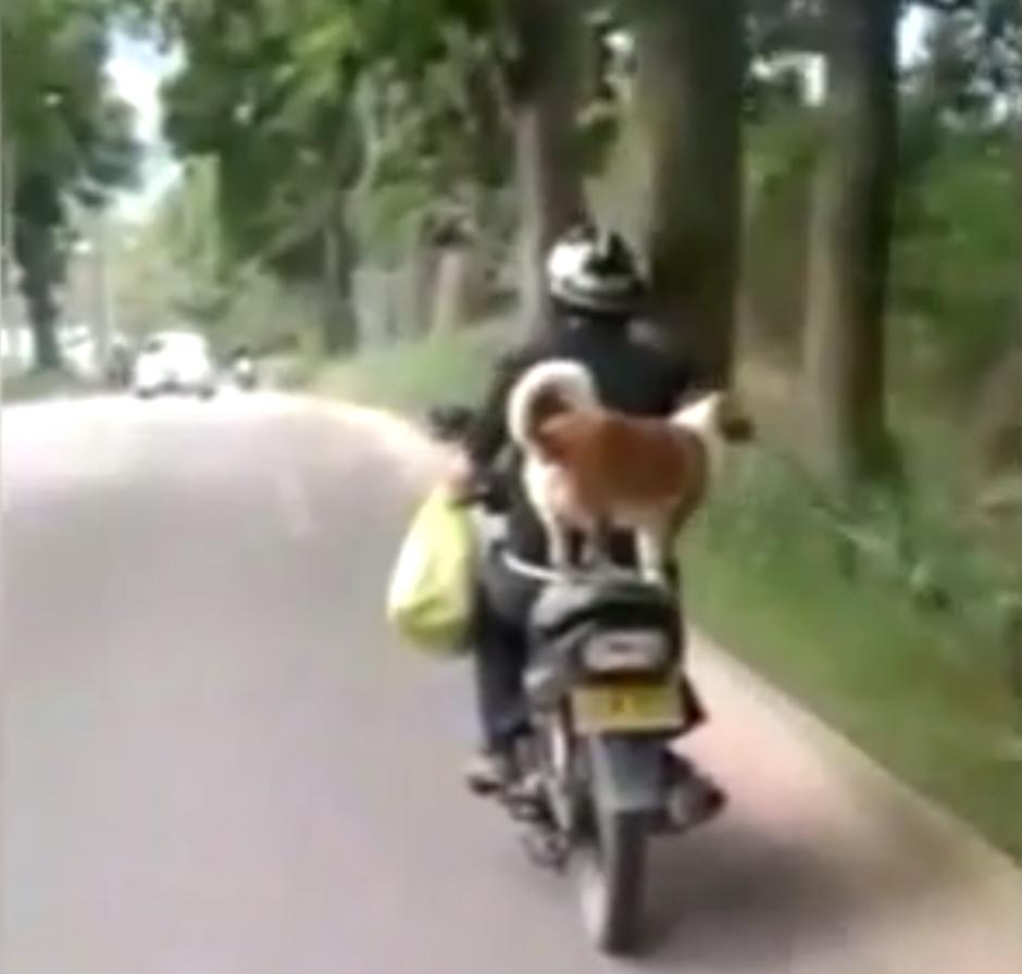 Un perro viaja tranquilamente en la parte de atrás de una motocicleta. (Captura de pantalla: Daily Mail)