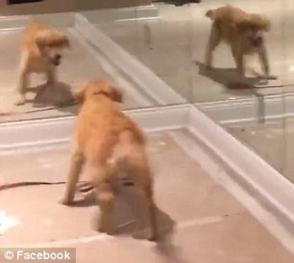 El animal salta y juega frente al espejo. (Captura de pantalla: dailymail)