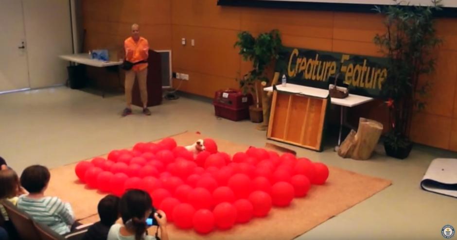 Twinkie es un aficionado a romper globos. (Captura de pantalla: Guinness World Records/YouTube)