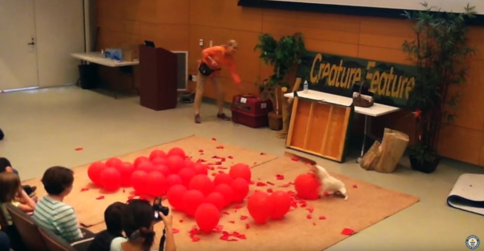 El perro debe reventar los globos lo más pronto posible. (Captura de pantalla: Guinness World Records/YouTube)