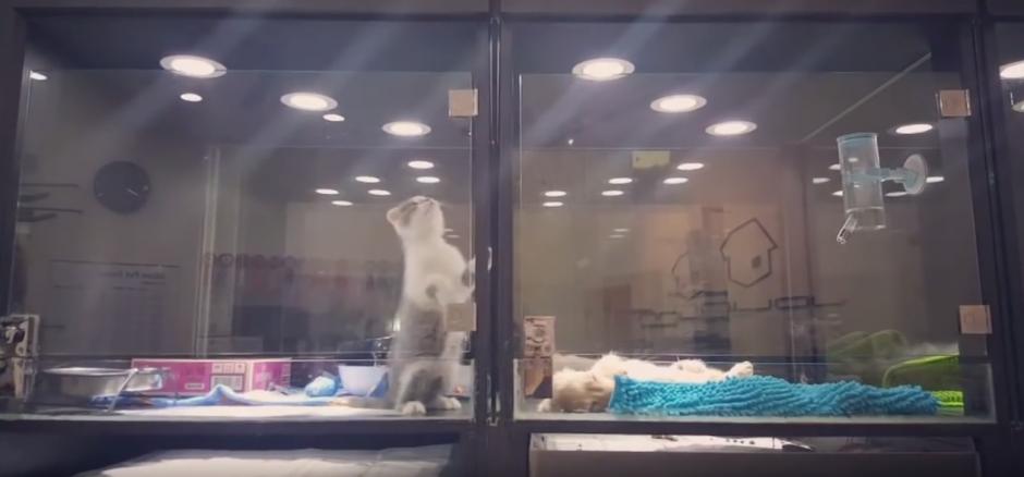 Un gato trata de escapar de su jaula en una tienda de mascotas. (Captura de pantalla: WhatViraling01/YouTube)