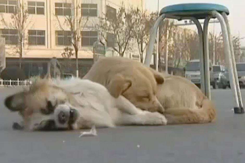 El perro dio la mejor muestra de fidelidad al arriesgar su vida para proteger el cuerpo de su pequeño amigo