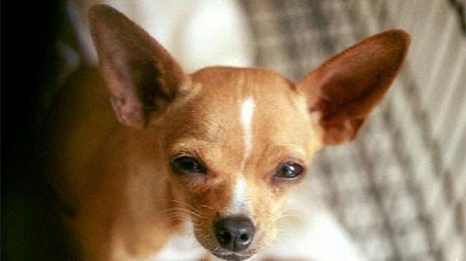 Un estudio reveló que los perros chihuahueños son los más agresivos en comparación con otros. (Foto: www.google.com.gt/)