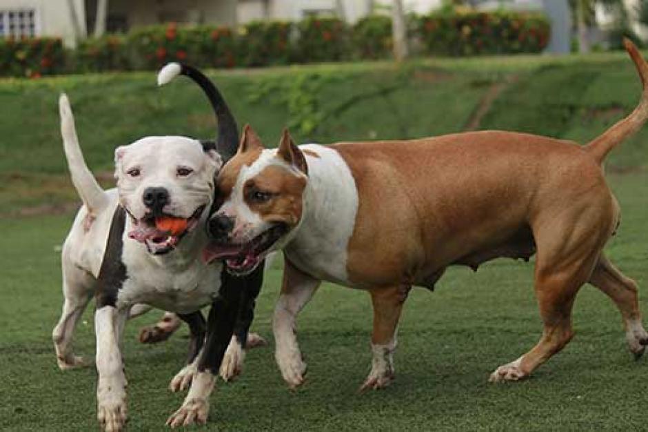 Los perros pitbull terrier fueron catalogados como unos de los más tranquilos. (Foto: www.excelsior.com.mx)