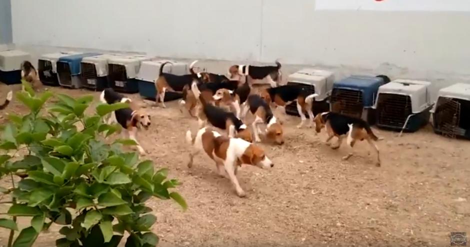 Los perros no perdieron el entusiasmo a pesar del encierro. (Foto: Ultimate Video/YouTube)