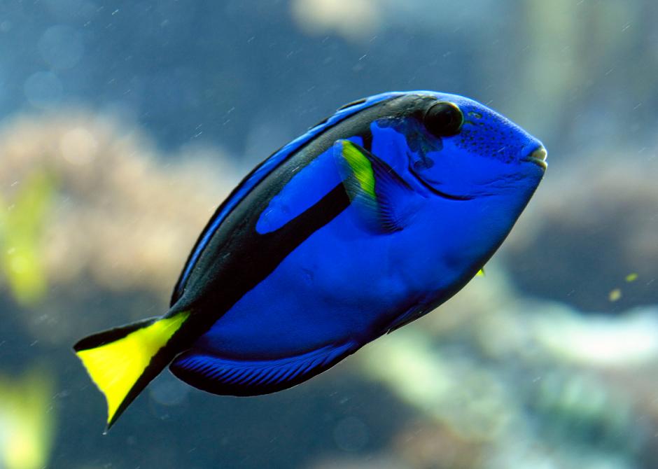 La población del pez cirujano regal o azul se puede ver afectada por el estreno de la cinta. (Foto: eikothings.blogspot.com)