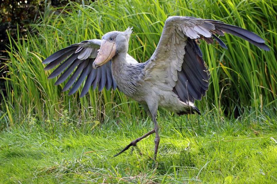 El picozapato puede alcanzar hasta 1.5 metros de largo y más de 2.5 metros de ancho. (Foto: pinterest.com)