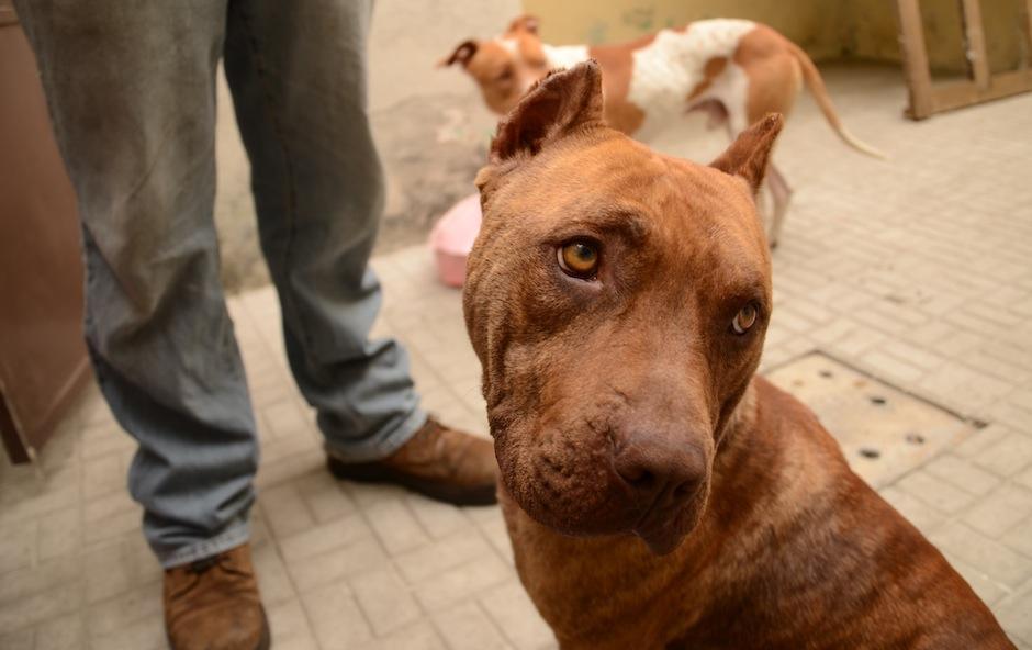 """""""Valentina"""" es una hermosa pitbull que vivió explotación y maltrato, ya que, era usada para tener crías que luego eran vendidas. (Foto: Selene Mejía/Soy502)"""