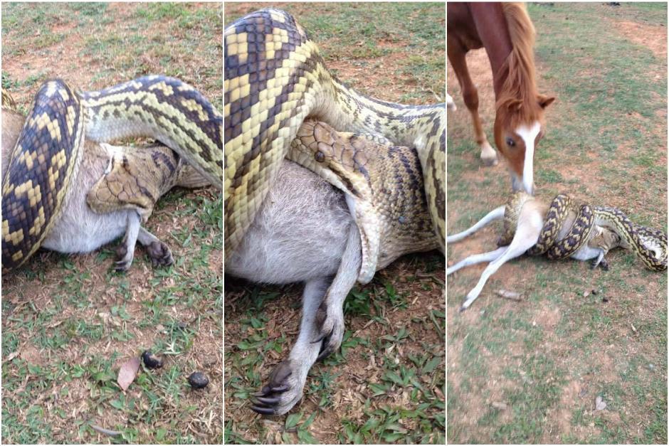 Un hombre captó cómo la pitón devora a un marsupial. (Foto: 7 News)