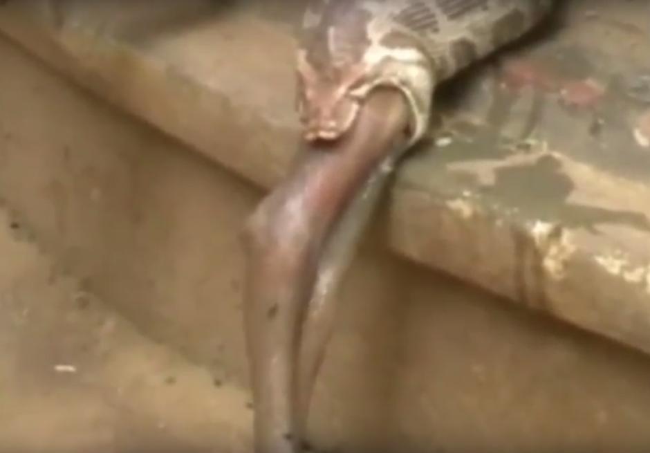 La pitón invirtió tiempo en expulsar de su estómago al antílope. (Imagen: captura de YouTube)