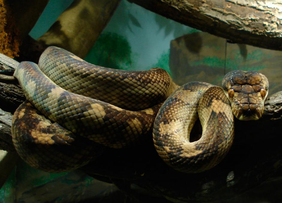 Las pitones como otras grandes serpientes, engullen animales más grandes que sus mandíbulas. (Foto: anipedia.net)