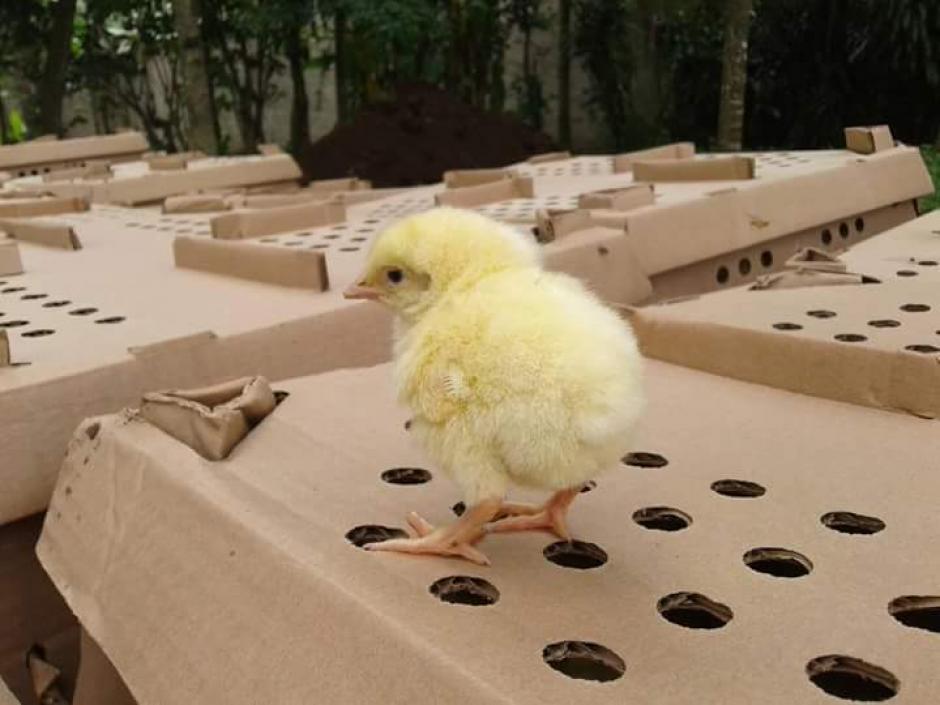 Según el MAGA los pollos no estaban vivos cuando fueron enterrados. (Foto: Canal 46 Nuestro Canal/Facebook)