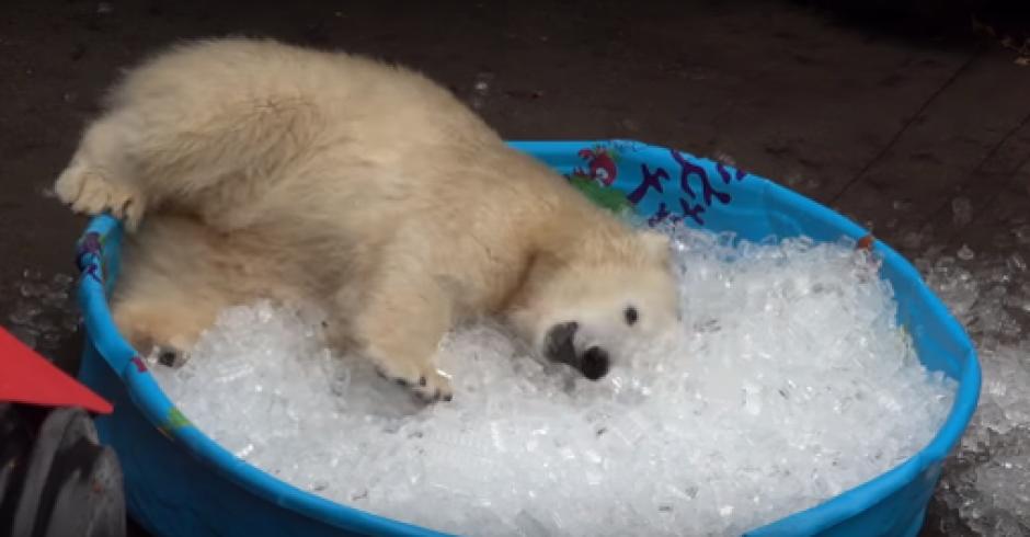Esta osa polar muestra que no necesita mucho para divertirse. (Foto: Twitter)