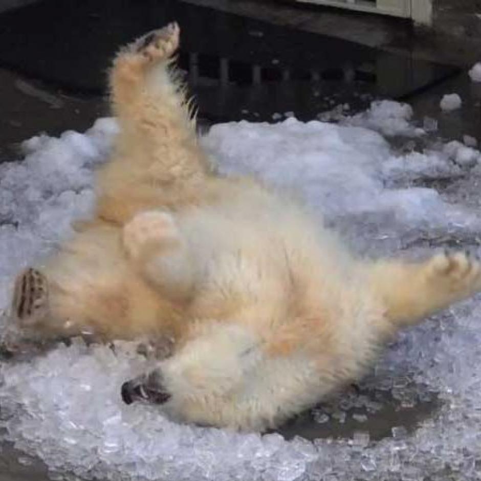 L osa polar, Nora luce feliz en la piscina con hielo. (Foto: twitter)