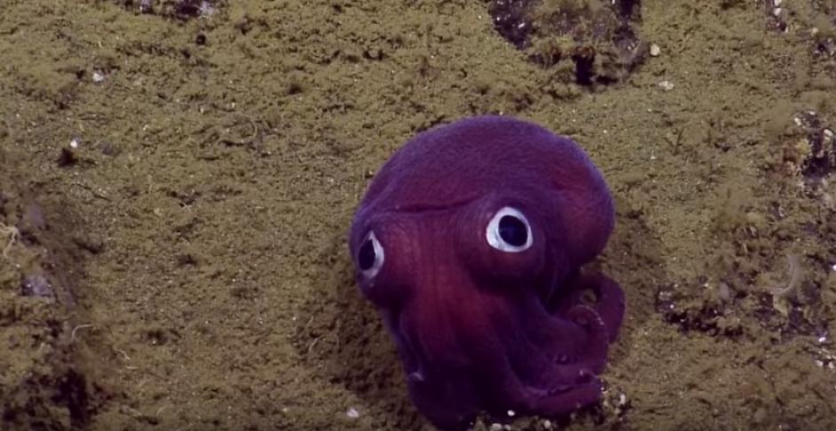 Un grupo de científicos localizó un pulpo de ojos saltones. (Foto: Captura de YouTube)