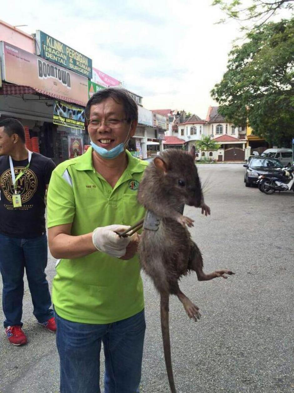 Londinenses han encontrado ratas gigantes que se asemajan a gatos. (Foto: El Ciudadano)