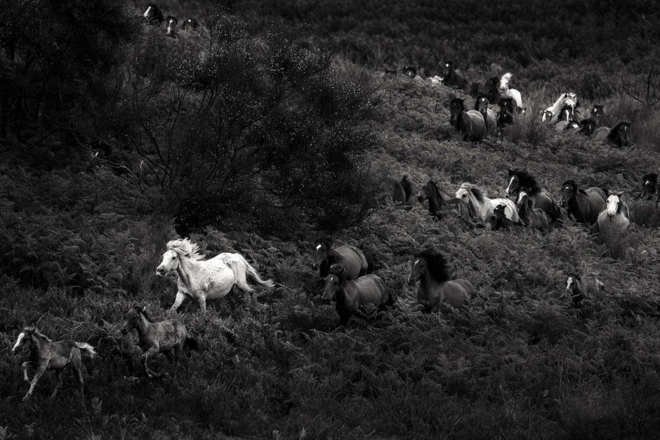 Los caballos son traidos del campo a una plaza cerrada. (Foto: Javier Arcenillas)