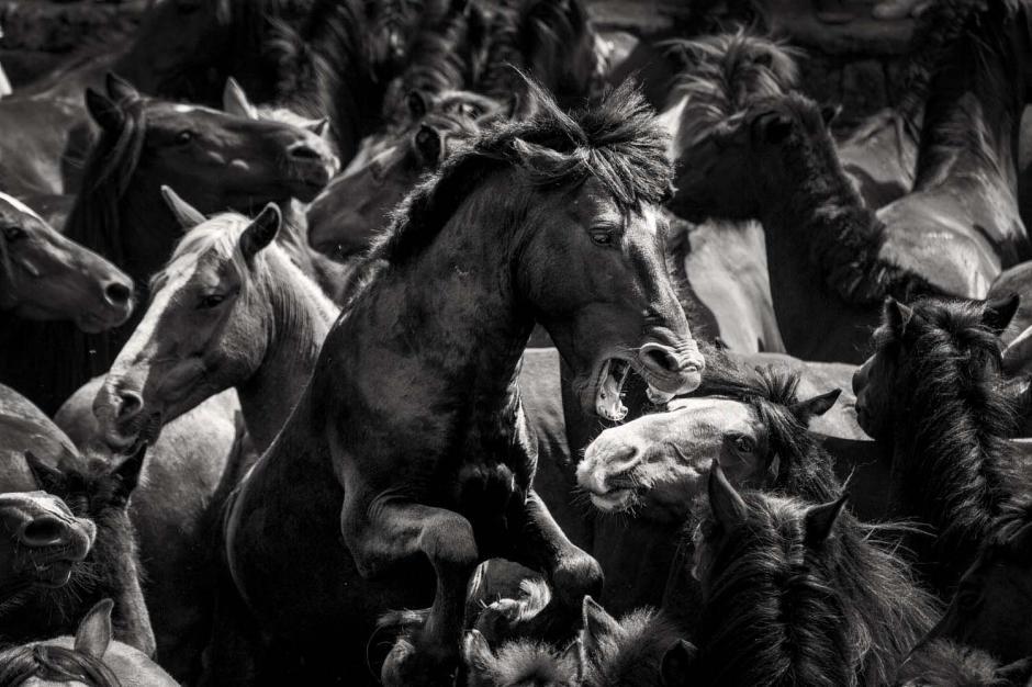 La Rapa das Bestas de este 2015, se reunieron 400 caballos salvajes para realizar el corte de las Crines de estos ejemplares. (Foto: Javier Arcenillas)