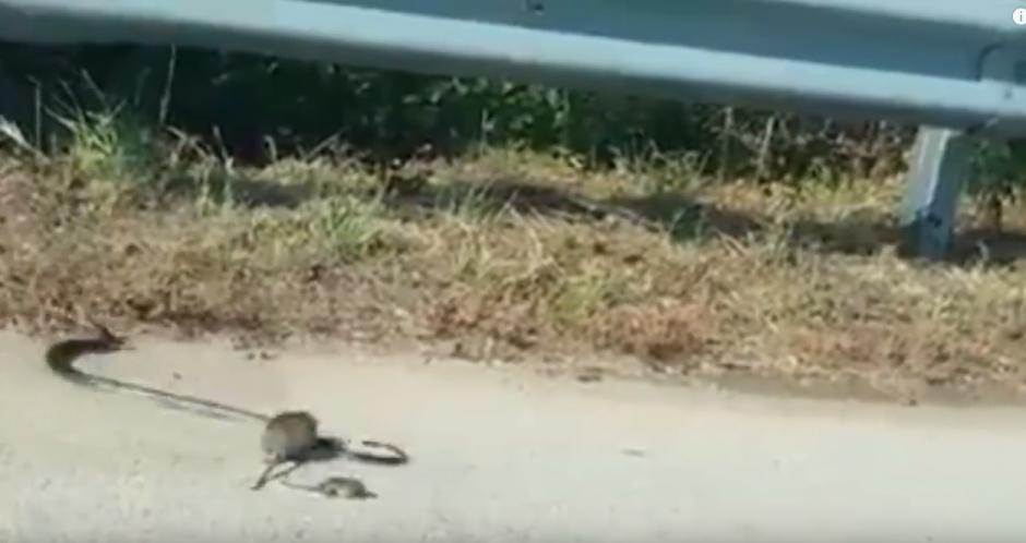 La serpiente suelta al roedor y huye. (Captura de pantalla: Descubre tu Mundo HD/YouTube)