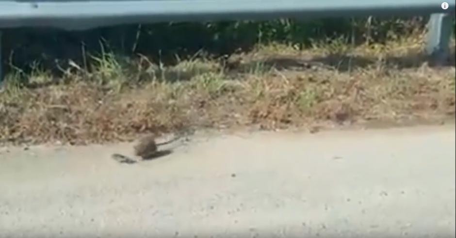 La rata se percata que el animal no las vuelva atacar. (Captura de pantalla: Descubre tu Mundo HD/YouTube)