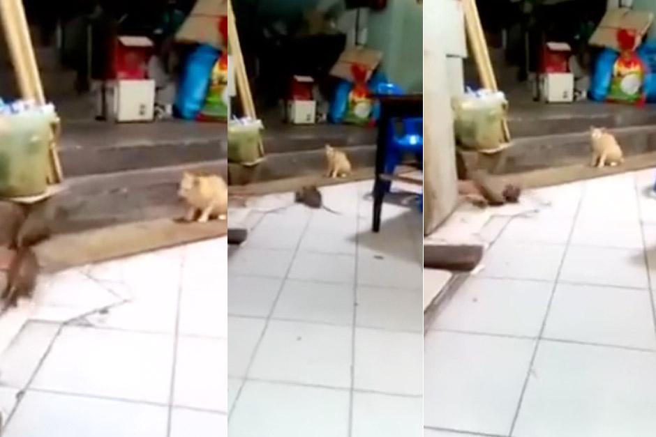 Un video que captó a un gato disfrutando de la pelea entre dos ratas se hace viral