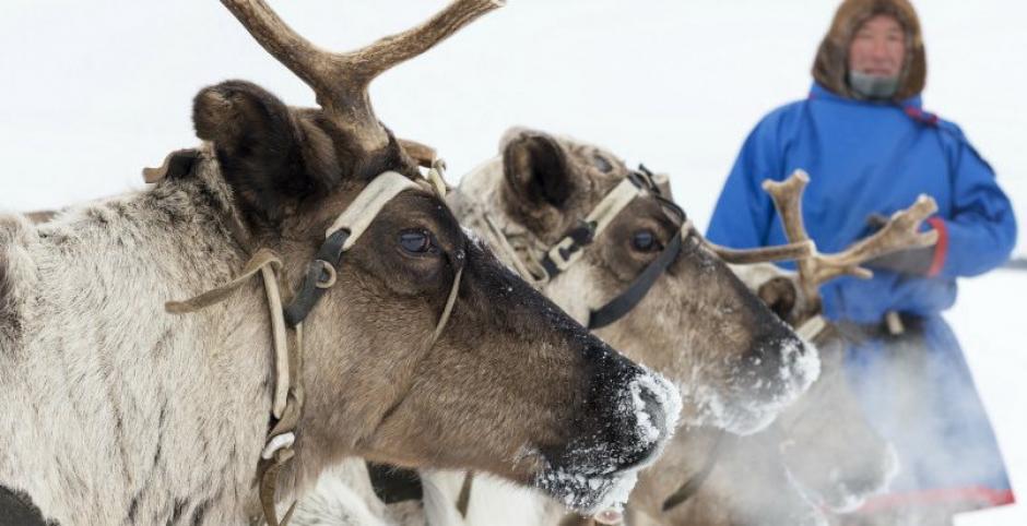 Los renos se ven amenazados por el cambio climático que afecta su modo de vida. (Foto: Demax)