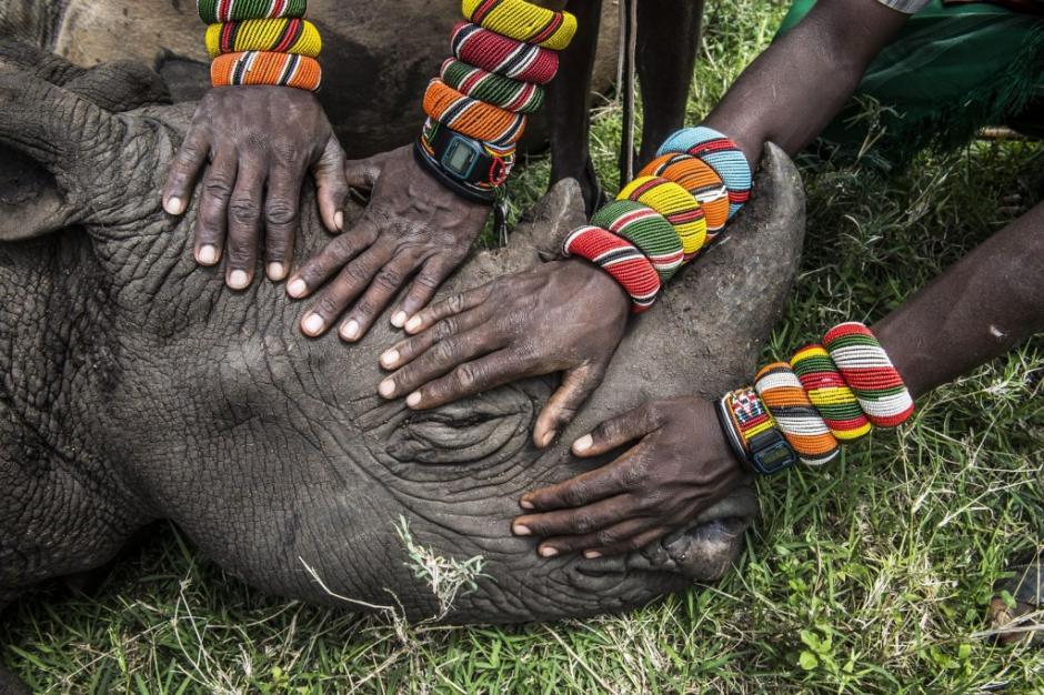 Un grupo de jóvenes guerreros Samburo tocan por primera vez en su vida a un rinoceronte, en la reserva Lewa Wildlife Conservancy, al norte de Kenia. (Foto: Ami Vitale/National Geographic)