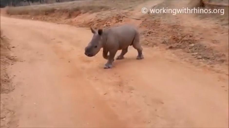 Warren es un pequeño rinoceronte que responde cuando lo llaman por su nombre. (Foto: Belfast Telegraph)