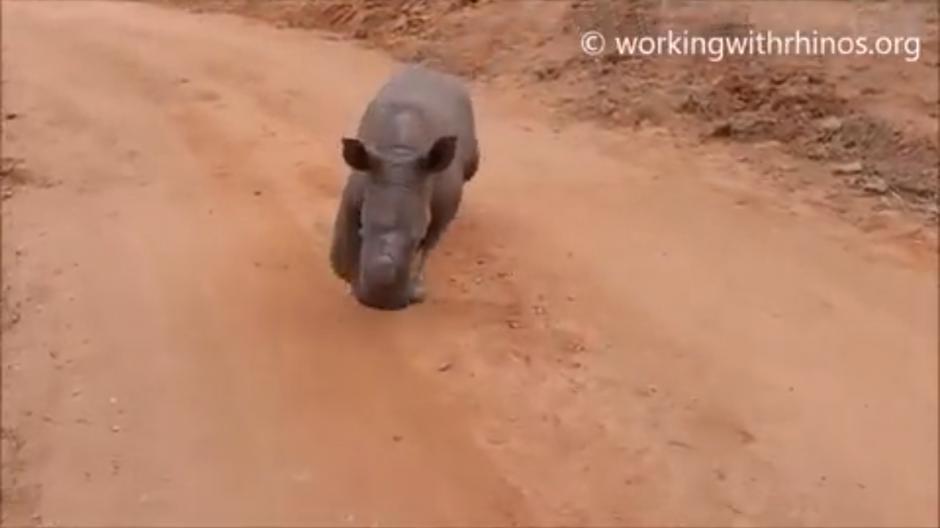 """Cuando el bebé rinoceronte escucha """"Warren"""" regresa corriendo a sus cuidadores. (Foto: Belfast Telegraph)"""