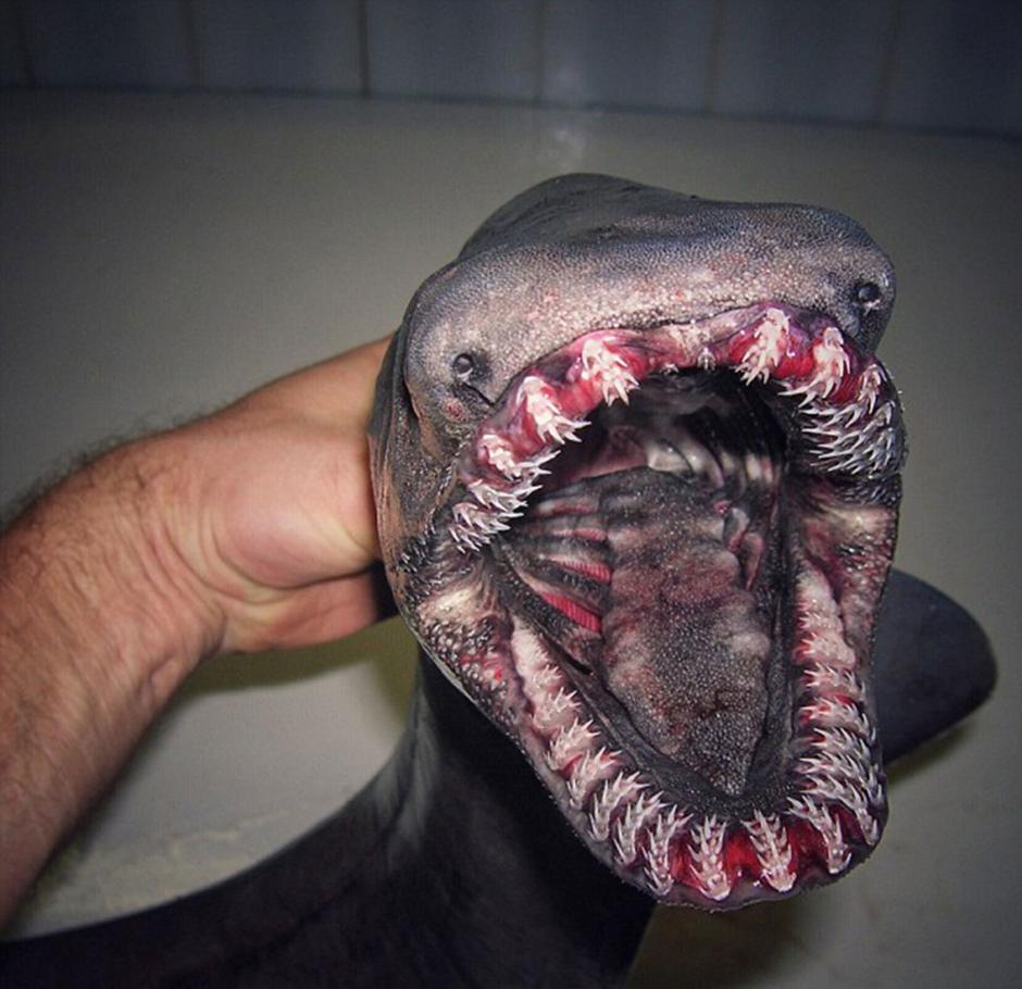 El tiburón anguila o tiburón de gorguera es una extraña especie a la que se conoce como un fósil viviente. (Foto: Twitter/@rfedortsov)