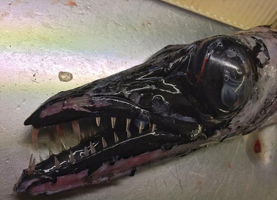 El sable negro es otro increíble pez que vive entre 170 y 200 metros de profundidad. (Foto: Twitter/@rfedortsov)