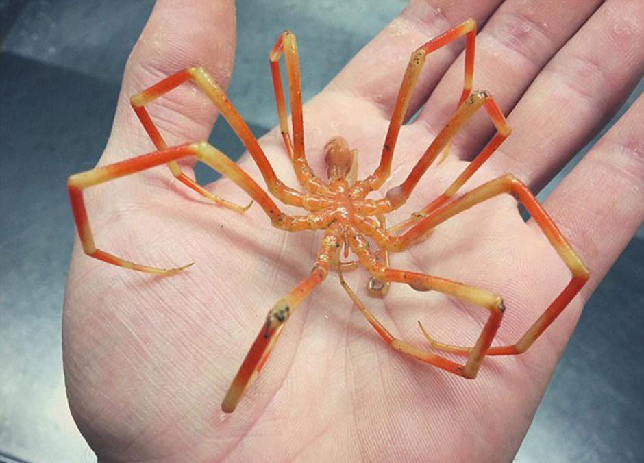 """El pescador también atrapó un picnogónido o """"araña de mar"""". (Foto: Twitter/@rfedortsov)"""