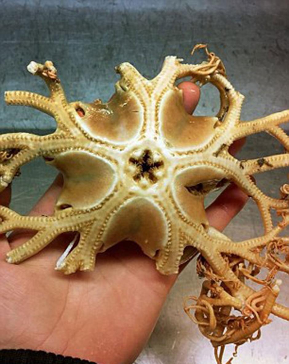 Esto parece ser el esqueleto de una extraña estrella de mar. (Foto: Twitter/@rfedortsov)