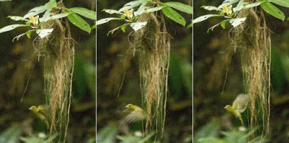 El ave vive en Panamá pero su familia se encuentra en Asia y África. (Foto: Neotropical)
