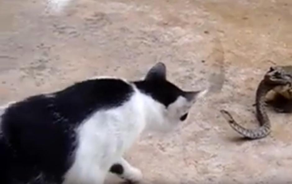 La serpiente lucha con toda su fuerza contra sus atacantes.  (Captura de pantalla: YouTube/Animal Bababa)