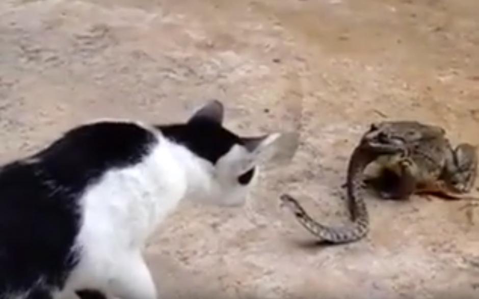 Un gato curioso mira lo que sucede e intenta jugar con la serpiente (Captura de pantalla: YouTube/Animal Bababa)