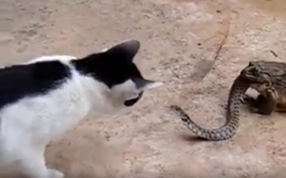 El sapo intenta comerse a la serpiente. (Captura de pantalla: YouTube/Animal Bababa)
