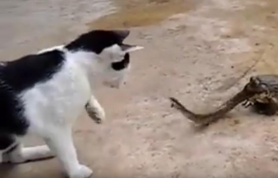 El gato intenta tocar a la serpiente y ella se defiende. (Captura de pantalla: YouTube/Animal Bababa)