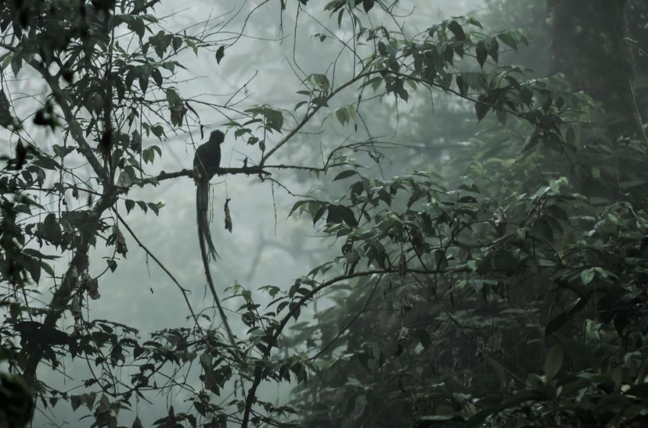 """""""En los bosques de neblina se oye el canto del Quetzal y se ve su silueta inigualable posada en un árbol"""", comenta Rizzo. (Foto: Diego Rizzo)"""