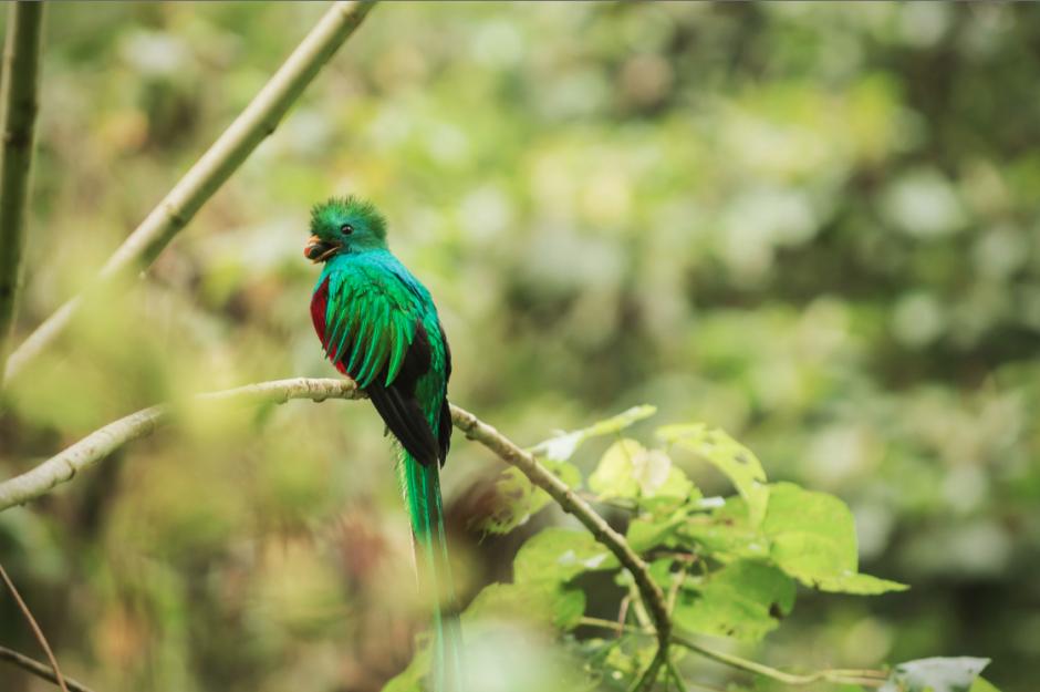 """Un Quetzal macho con un """"aguacatillo"""" en el pico para sus crías. """"Me sigue sorprendiendo que cada foto muestra una gama de colores diferentes cuando sus plumas resplandecen a la luz"""", explica Rizzo. (Foto: Diego Rizzo)"""