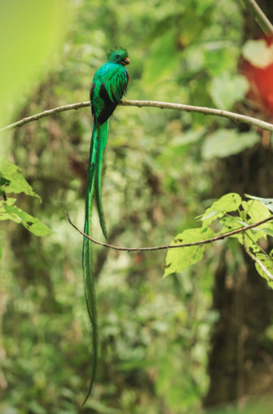 El Quetzal macho, de cuerpo entero y con un aguacatillo en el pico para los pichones. (Foto: Diego Rizzo)
