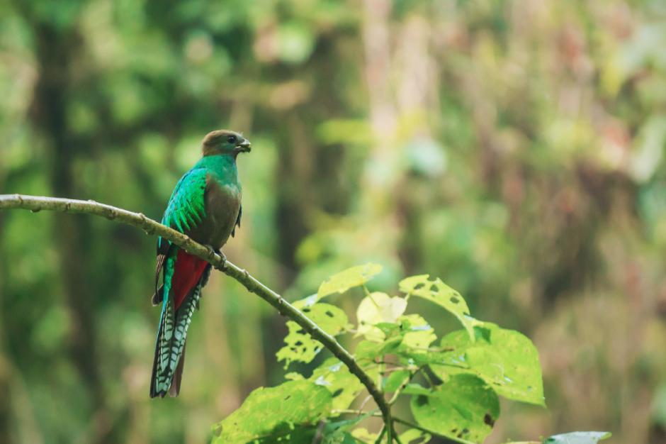 La hembra del Quetzal tiene el mismo verde resplandeciente del macho, el pecho grisáceo y el vientre rojo, y bajo las alas tiene unas plumas blancas con manchas como las de la cola. (Foto: Diego Rizzo)
