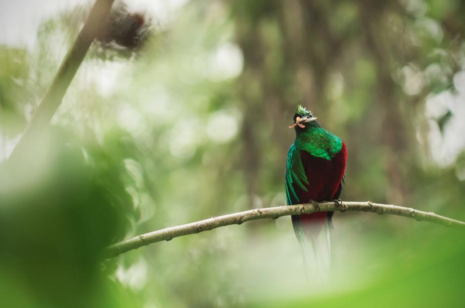 Este Quetzal fue visto en el Refugio de San Rafael Pie de la Cuesta, en San Marcos. (Foto: Diego Rizzo)