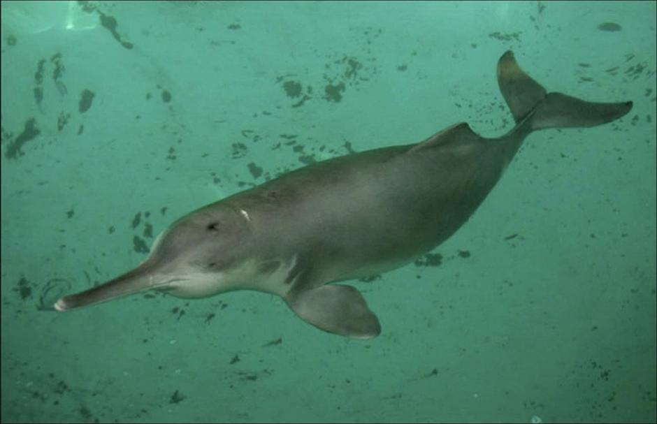 Muchos zanjaron el debate asegurando que era un delfín del Ganges. Pero no.