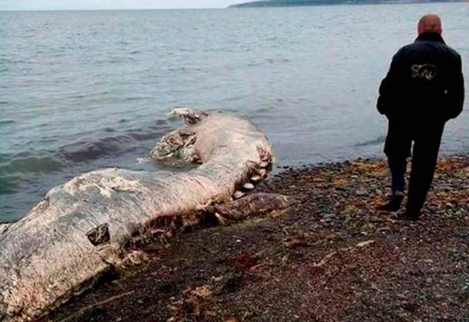 El gran tamaño descartó que se tratase de un delfín.