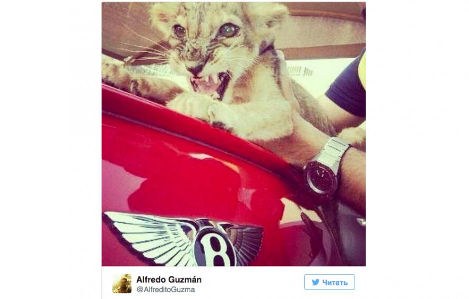 Otro felino exótico es presumido en la cuenta de Alfredo Guzmán junto a los autos deportivos.(Foto: Twitter)