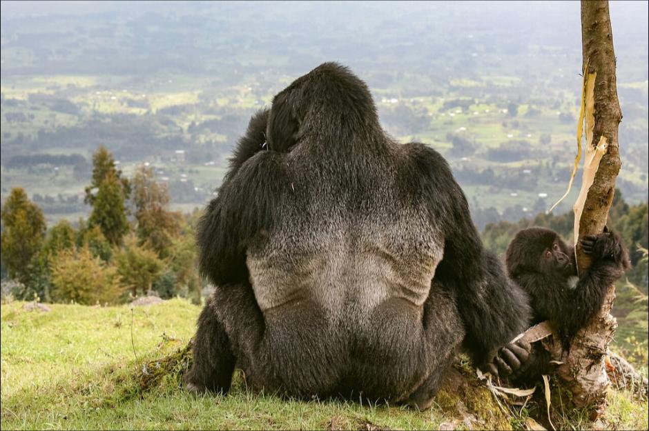 Un gorila cuida a un pequeño de la manada, increíble fotografía de la vida salvaje. (Foto: Martha Robbins/Royal Society)